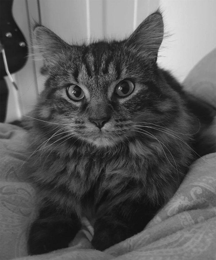 Pickles: Cat laying down looking at camera